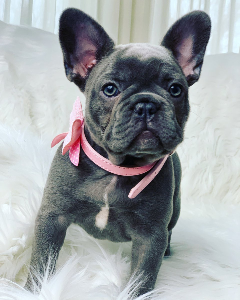 You looking at me?!  @oakleybfrenchie @frenchbulldogwd #bluefrenchie #bluefrenchbulldog #frenchiesofinstagram #bluefrenchbulldogs #frenchies #frenchie #bluebayoufrenchies #frenchbulldog #frenchbulldogs #frenchbulldogpics #puppy #puppylove #puppies #puppiesofinstagram<br>http://pic.twitter.com/lodnfsVMsC