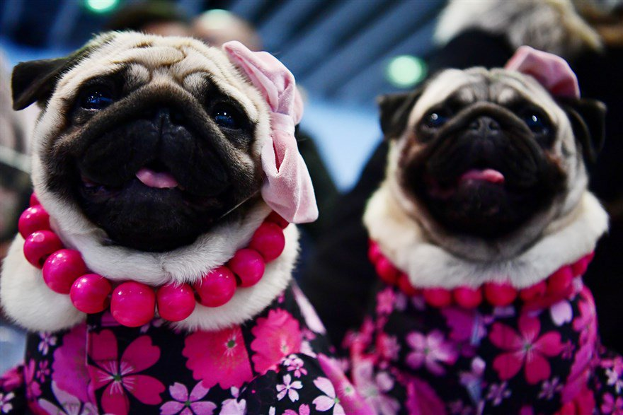 """Pugs nicknamed """"The Pugdashians"""" attend the Meet the Breed event. See more from the Westminster Kennel Club's annual dog show. https://nbcnews.to/2DxjNRg"""