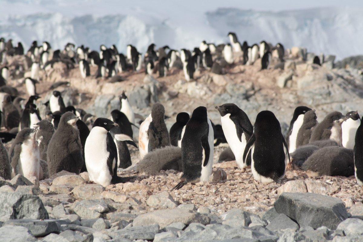 🐧El proyecto de investigación #PINGUFOR de la #CampañaAntártica Española sigue la evolución de diferentes poblaciones de pingüinos y los posibles cambios de dieta en el contexto del cambio climático.  📊 Los resultados apoyarán la solicitud de una Área Marina Protegida.