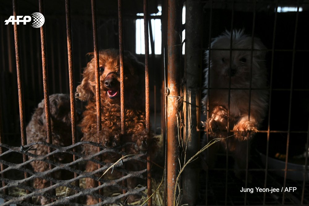South Korean dog meat puppy closed Hongseong dogs puppies rescued