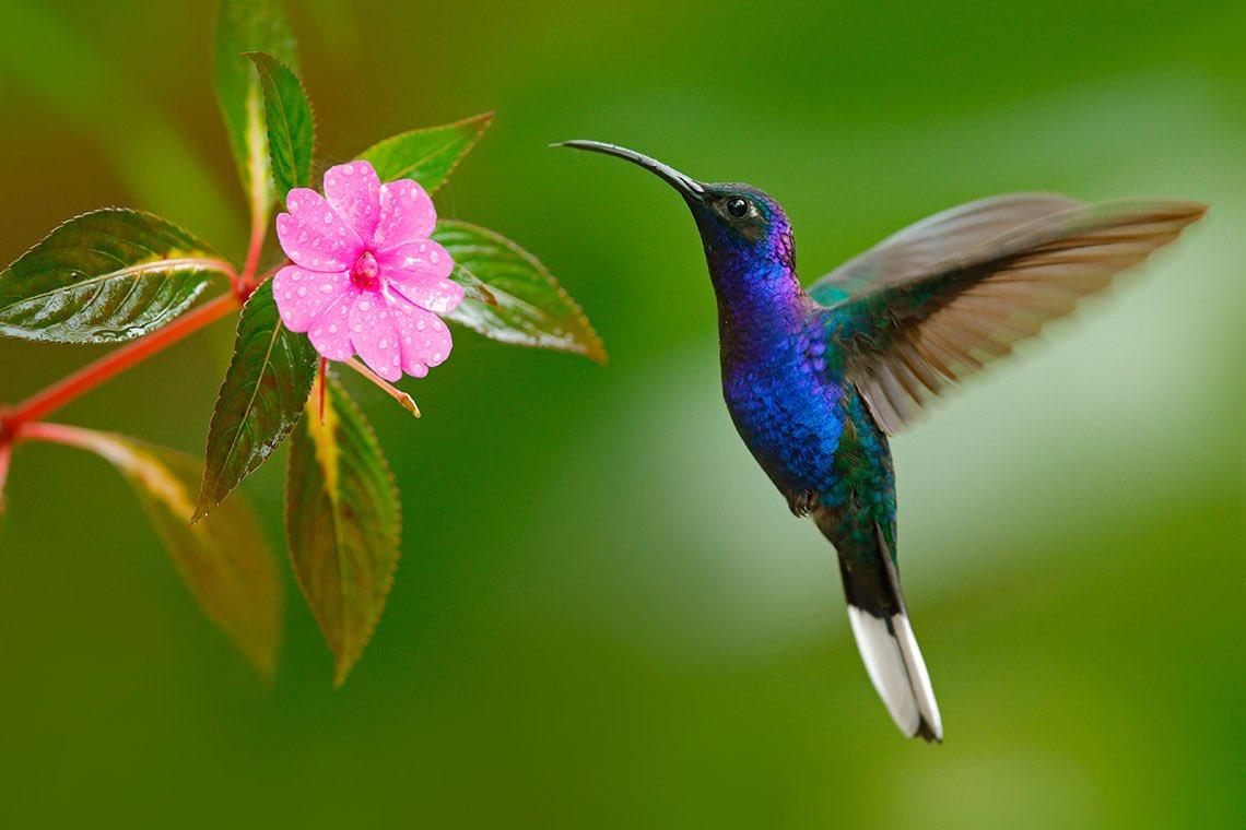 картинки птички колибри том