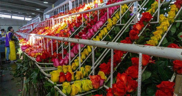 .@UPS to transport an estimated 89 million flowers this Valentine's Day – DC Velocity http://ow.ly/gi4V30nG8XO Temperature-controlled trucks, aircraft and warehouses help millions of blooms crisscross the globe this week.
