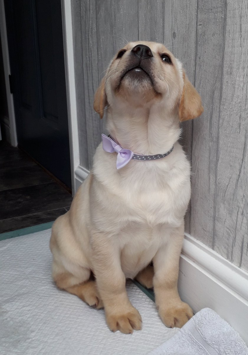 #puppylove #dogsoftwitter  Look ME got a new collar and its got a bow on! Pretty smart or what?<br>http://pic.twitter.com/1qKvYC5Fe1
