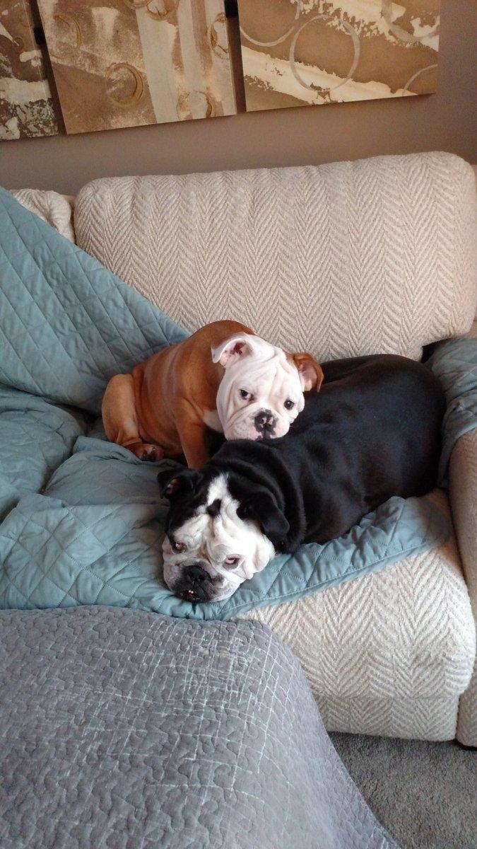 Bob the bulldog's photo on #WestminsterDogShow