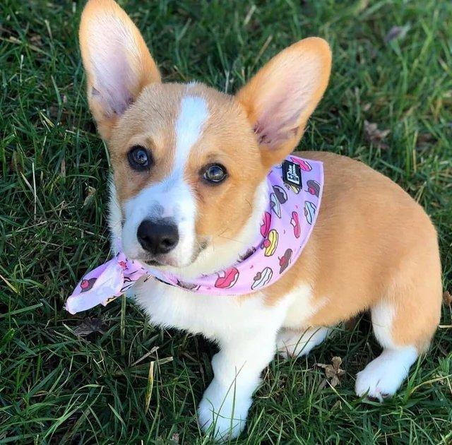 My girl winner, love those eyes #corgi  #dogs  #doglovers  #Puppy  #puppies  #PuppyLove <br>http://pic.twitter.com/b1wGswYo78