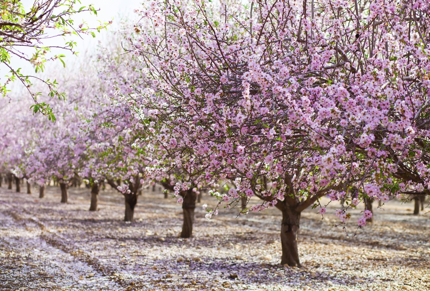 фото цветущего миндаля в испании