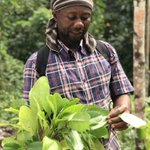 Leaf of life (Bryophyllum pinnatum) is a spiritual and medicinal bush in Jamaica. This knowledge is transmitted orally and has sustained generations of farmers #SmallHolderFarming #FamilyFarming #TraditionalAgriculture #Culture #Ethnobotany #Caribbean #biodiversity