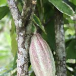 Did you know that #Jamaica has excellent quality of #cocoa? Theobroma cacao grows as part of the #agroforestry system and produces beans that are dried, roasted, pounded with a mortar, and then rolled into #chocolate balls #ethnobotany #TraditionalKnowledge  #SmallHolderFarming