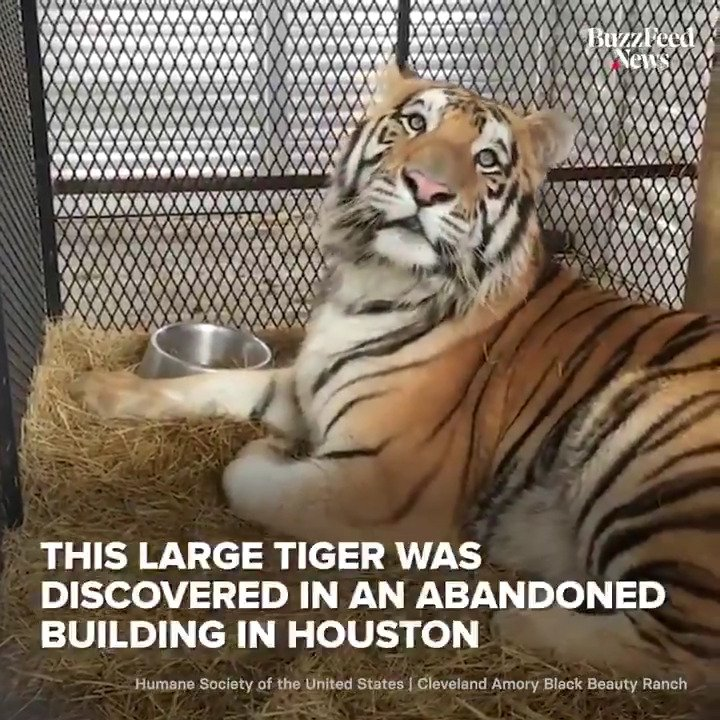 This tiger was found in a cage in an abandoned building, but now gets to lay in the sun in an animal sanctuary 🐅