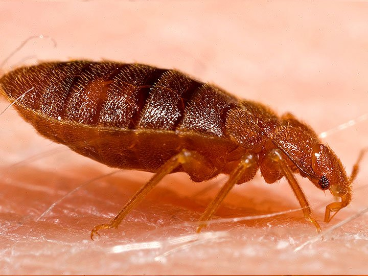 how do you know if you have bedbugs