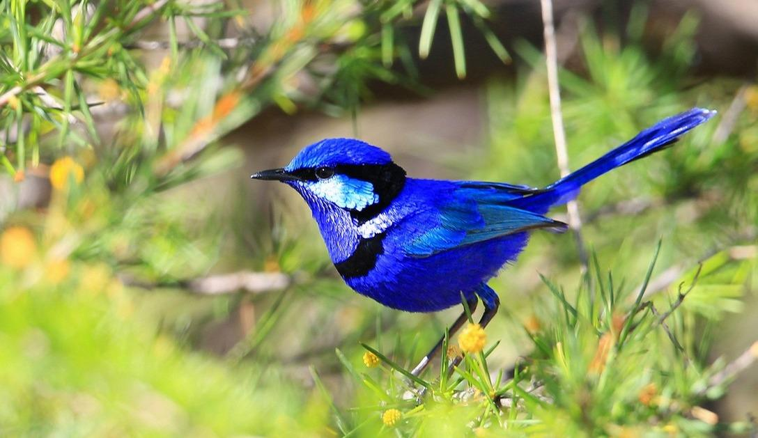 It's the Splendid Fairy Wren and thank you so much @twitchathon and @ChrisBathTV for informing me that it's also the most promiscuous of the bird world. I love me a Dirty Bird!