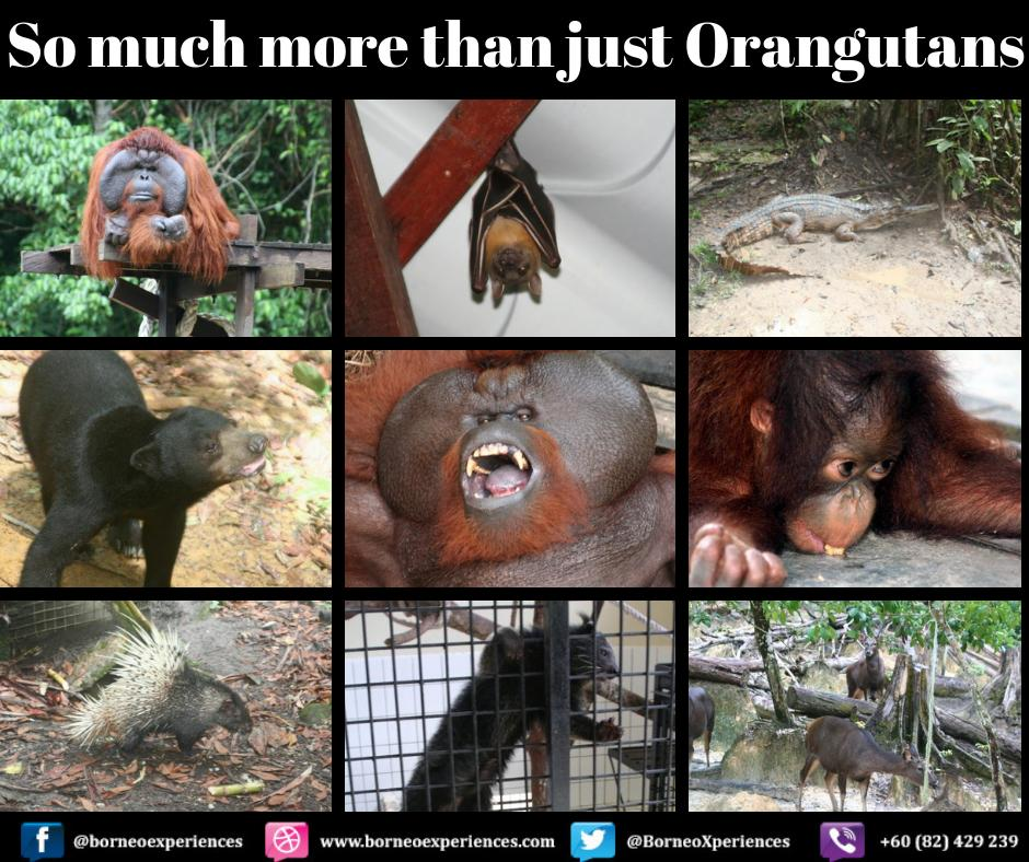Matang Wildlife Center, home to the orphaned, injured and illegally trafficked animals here in Sarawak.  Follow the links below to discover more. http://bit.ly/bexorang http://www.borneoexperiences.com  #orangutans #Matangwildlifecenter #singgahsanalod1 #thevillagehous2 #letsgo #vacation