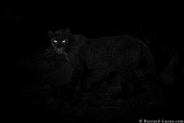 Trying to be excited about this rare black panther they found but the way this Black History Month been going I wouldn't be surprised if we find out it was just a snow leopard in black face.