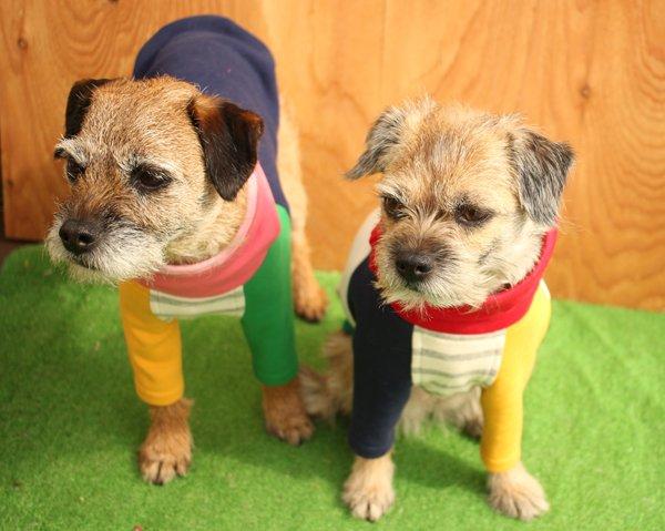 Image result for 犬 Border Terrier 美しい
