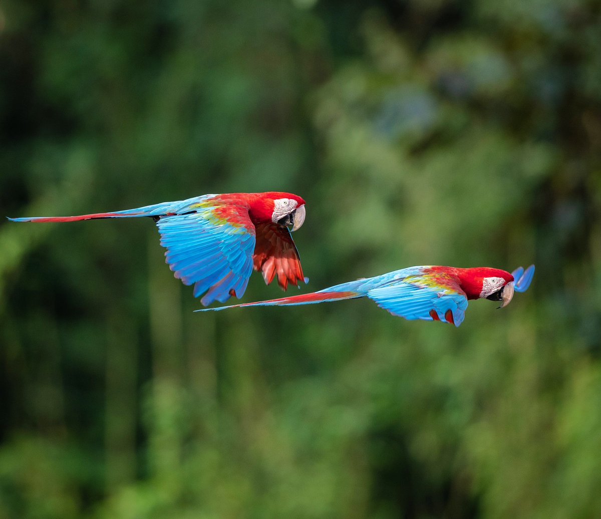 ❤️ Macaws typically mate for life and I think that's kinda great. Oh and they make it look goooood.