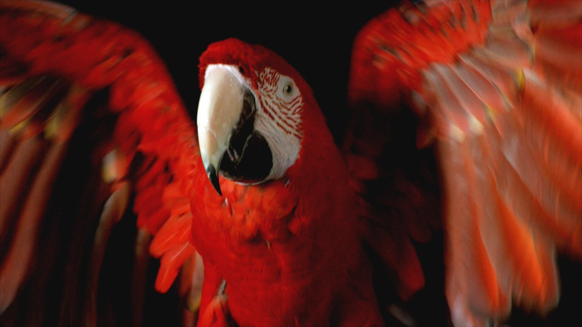 This #Valentines2019 we're celebrating the Scarlet Macaw! When they mate, they spend their whole lives together raising chicks, sharing food and grooming each other #CoupleGoals. This beautiful bird was photographed for #OneStrangeRock ep 5, now available to watch on @netflix 🥰