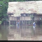 In areas of the #Amazon where seasonal flooding occurs, homes are built as open platforms on stilts. Every part of the home, from the stilts, floor & roof, is sourced from local wild plants. #Palms especially play an important role as construction materials. #ethnobotany