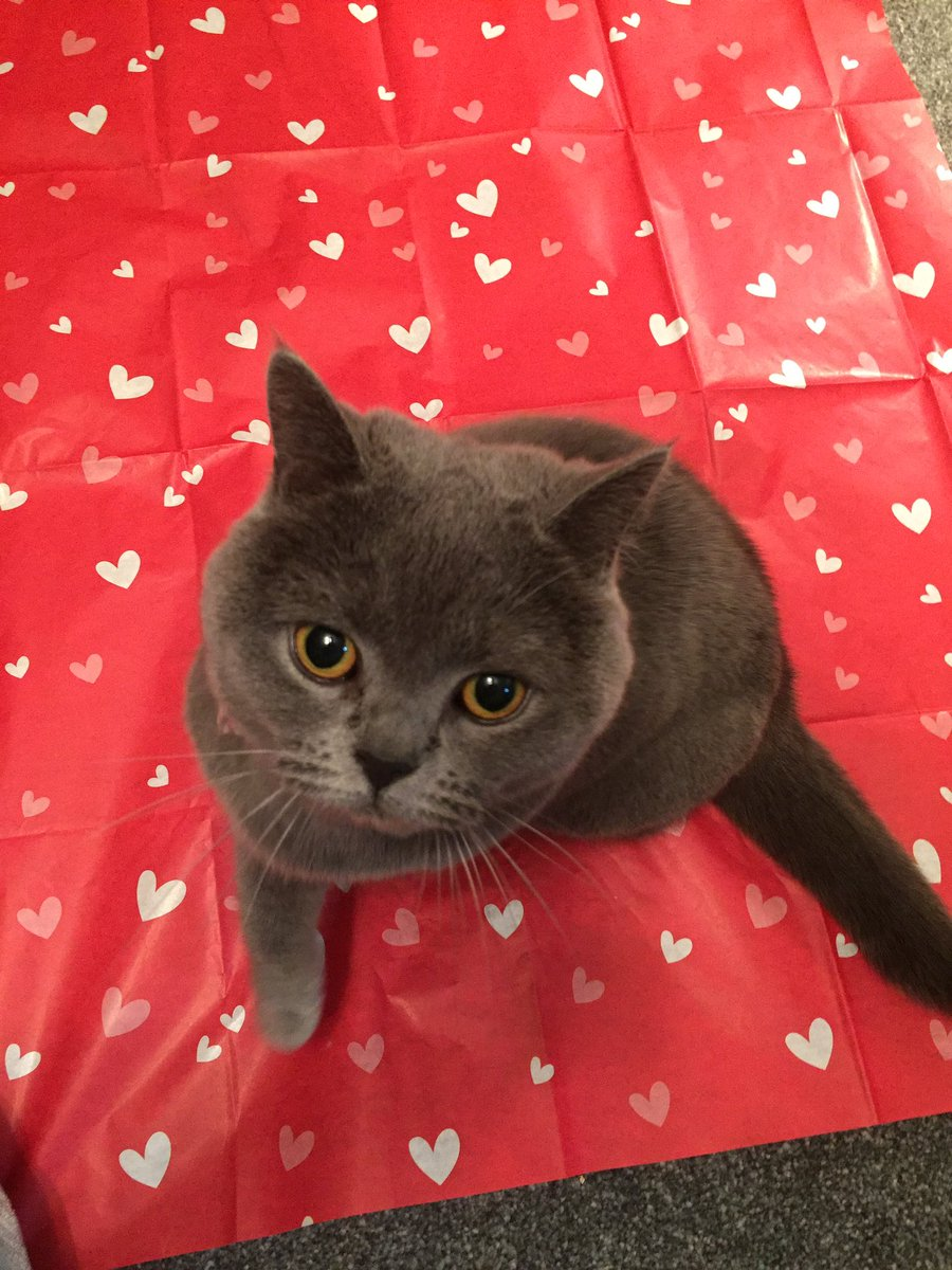 #Rosesareredvioletsareblue  I got me some paper  With love hearts for you  #HappyValentine #love #catlife #CatsOfTwitter #britishshorthair  <br>http://pic.twitter.com/0uhCQMsqAL