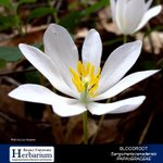 BLOODROOT: Sanguinaria canadensis (PAPAVERACEAE) Bloodroot was used historically by Native Americans to make medicine for fight bacteria, inflammation, rheumatism, warts, and fever.