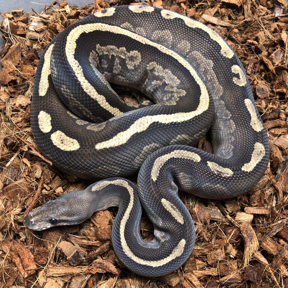 Morph Mixology Reptiles (@MorphMixology)   Twitter