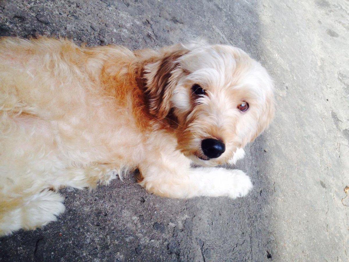 🚨Perdi meu cachorro na região do 'Jardim Jabaquara' (São Paulo/SP)   Nome: Spike  Cor: Bege/castanho claro  Raça: Poodle (porte médio)  Caso alguém o encontre, por favor entre em contato: (11) 98729-0792 (Bianca)  Se quiserem mais informações, é só chamar. Agradeço desde já ❤️🥺
