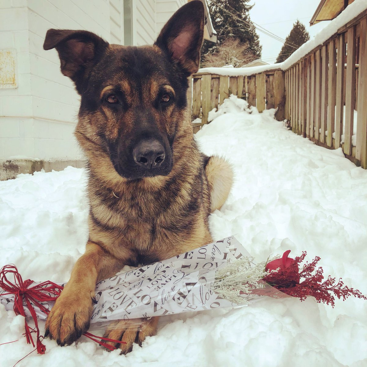 PSD Hank wants to know if you will be his Valentine ? all our four legged VPD PSD's would like to wish you a #HappyValentinesDay2019    #VPD #VPDCanineUnit #workingdogs #gsd <br>http://pic.twitter.com/KmZah2rbQR