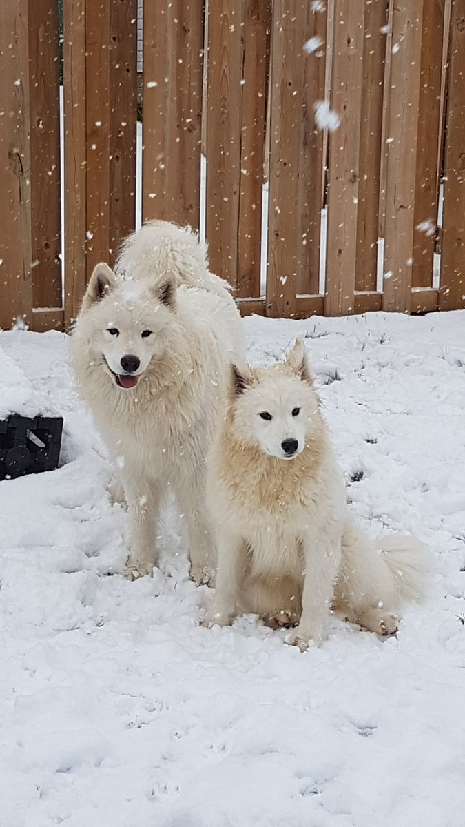 This year @AlabasterAurora an I want ebreyone to be our #Valentines would that be ok? Kisses an huggles for all! #yyj #dogsoftwitter #Samoyed #theshoobieking #theshoobieprincess #sooke #family #love #BeMyValentine #Valentinesday2019<br>http://pic.twitter.com/rWZKYJDWkz