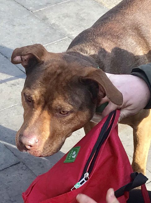 Attention LONDON! - MISSING DOG: Mr T, a Staffy Xbreed Street Dog - he &amp; #homeless owner r registered under the care of @dotslondon - he went missing on Piccadilly ydy - loving owner = frantic, Keep an eye out pls #lostdog #london #help #piccadilly contact DOTS if u c him <br>http://pic.twitter.com/ot57XoHMhq
