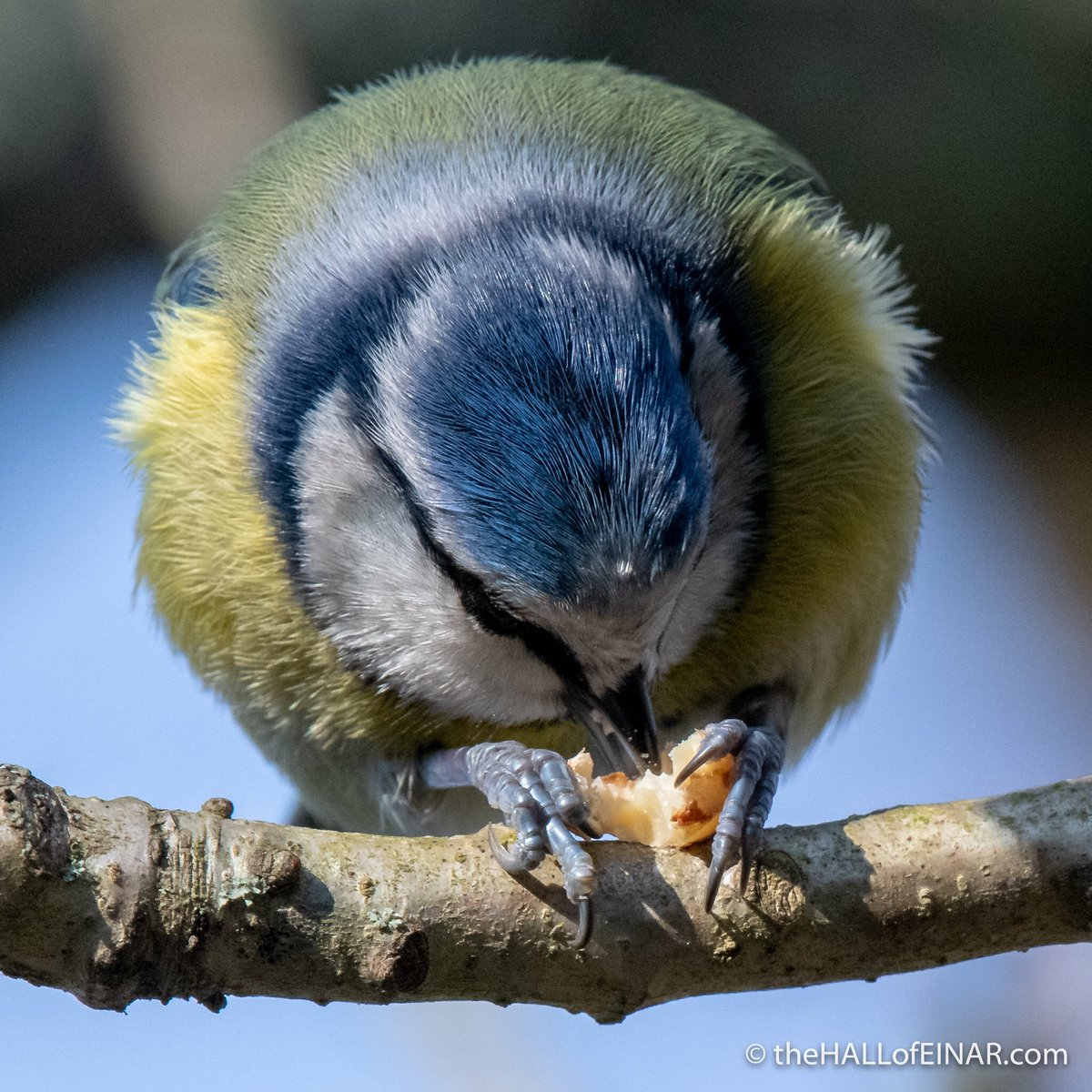 A Blue Tit showing use of the feet to hold a peanut while perching. Such amazing agility. @Natures_Voice @StoverPark <br>http://pic.twitter.com/Et0KIHfnGd