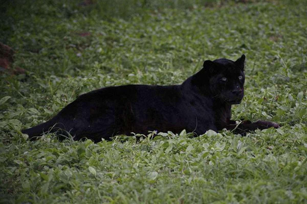 The last black leopard photographed in Kenya was born in New York http://bit.ly/2X3DUiT