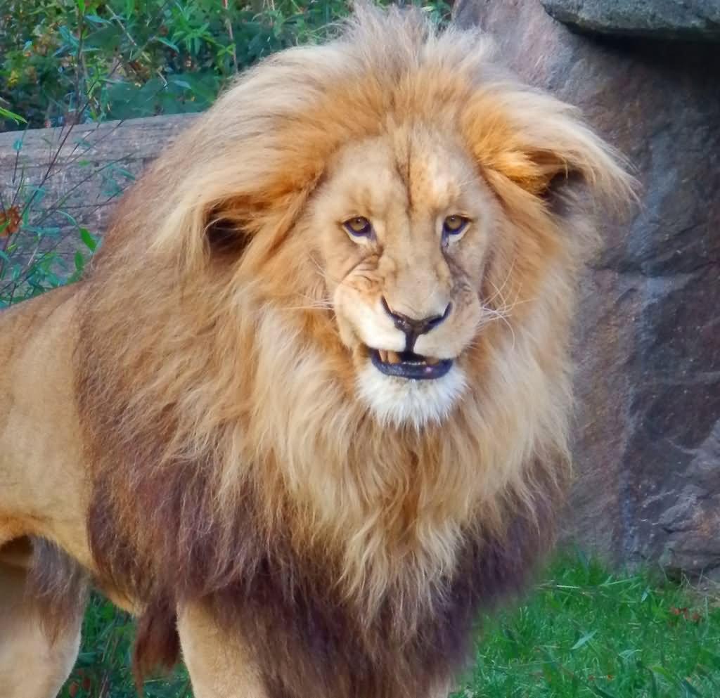 Поздравительные, картинки лев приколы