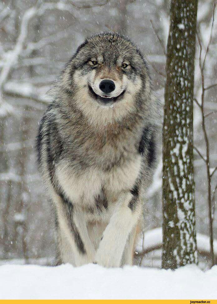 Веселый волк картинки