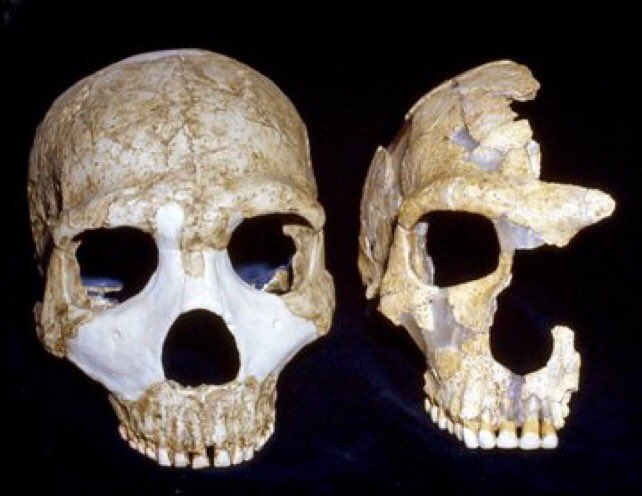 #FossilFriday Late #Neanderthal from Amud (israel, cast, left) and St Cesaire (France, original, right)
