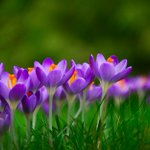 "Image for the Tweet beginning: Word of the day: ""crocus"""