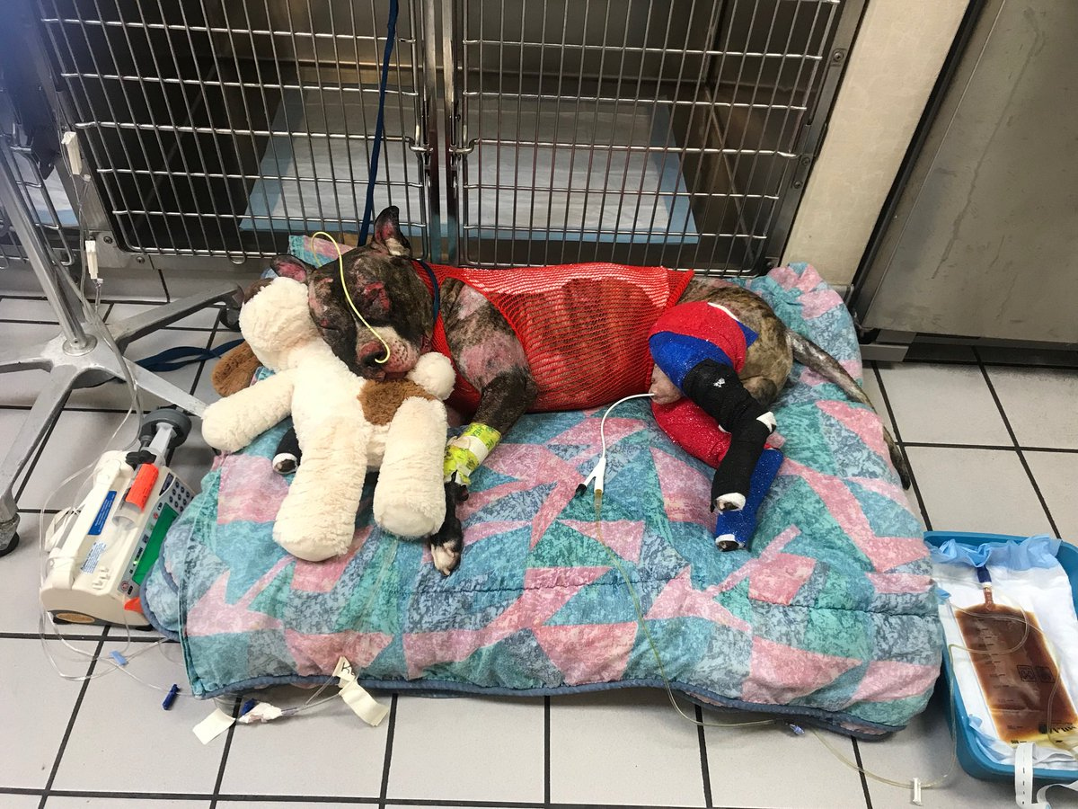 Heartbreaking news to pass along. Tommie, the pitbull set on fire, has died. @RACC_Shelter says &quot;Tommie just passed away. He had just finished having his bandages changed and stopped breathing; his body simply gave out. @8NEWS  #TeamTommie<br>http://pic.twitter.com/ZVoh6OEhoi