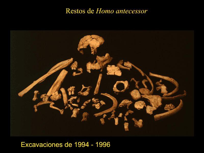 #FossilFriday #Homoantecessor