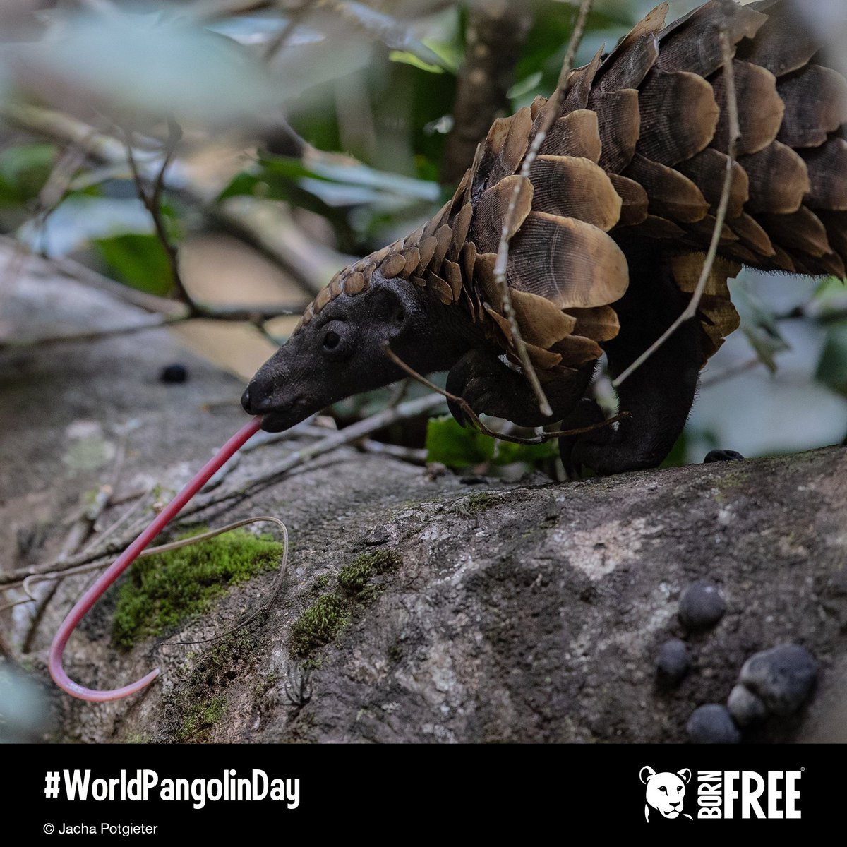 It's #WorldPangolinDay! Pangolins are the only mammals to have plate-like scales, &amp; they get their name from the Malay word 'pengguling', which means 'rolling up'. Find out about these fascinating creatures here:  https://www. bornfree.org.uk/animals/pangol ins &nbsp; …   #KeepWildlifeInTheWild #EndWildlifeCrime <br>http://pic.twitter.com/u5AKK4DXE2