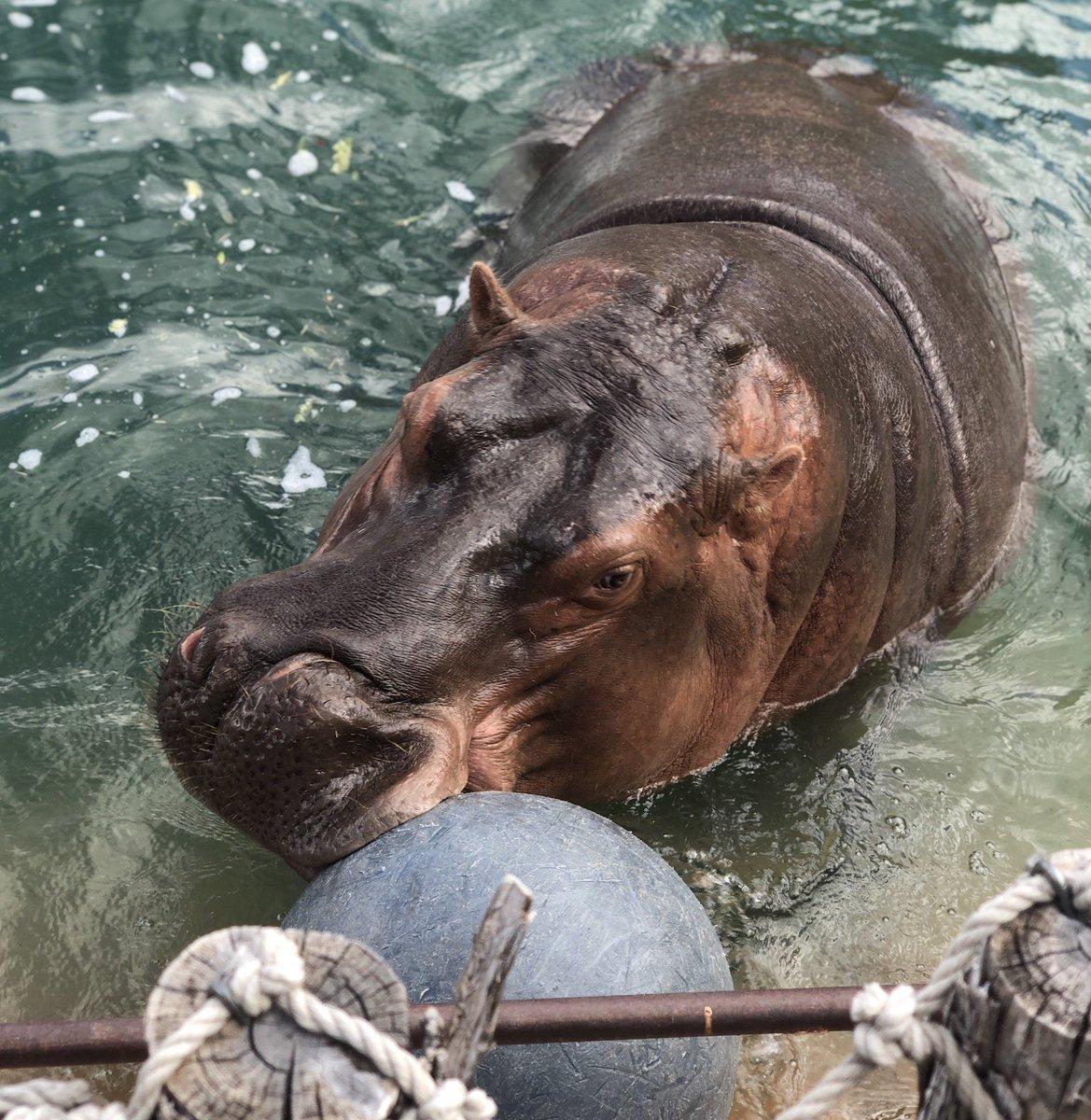 Happy international #hippo day from Karen! #ABQBioPark #Zoo