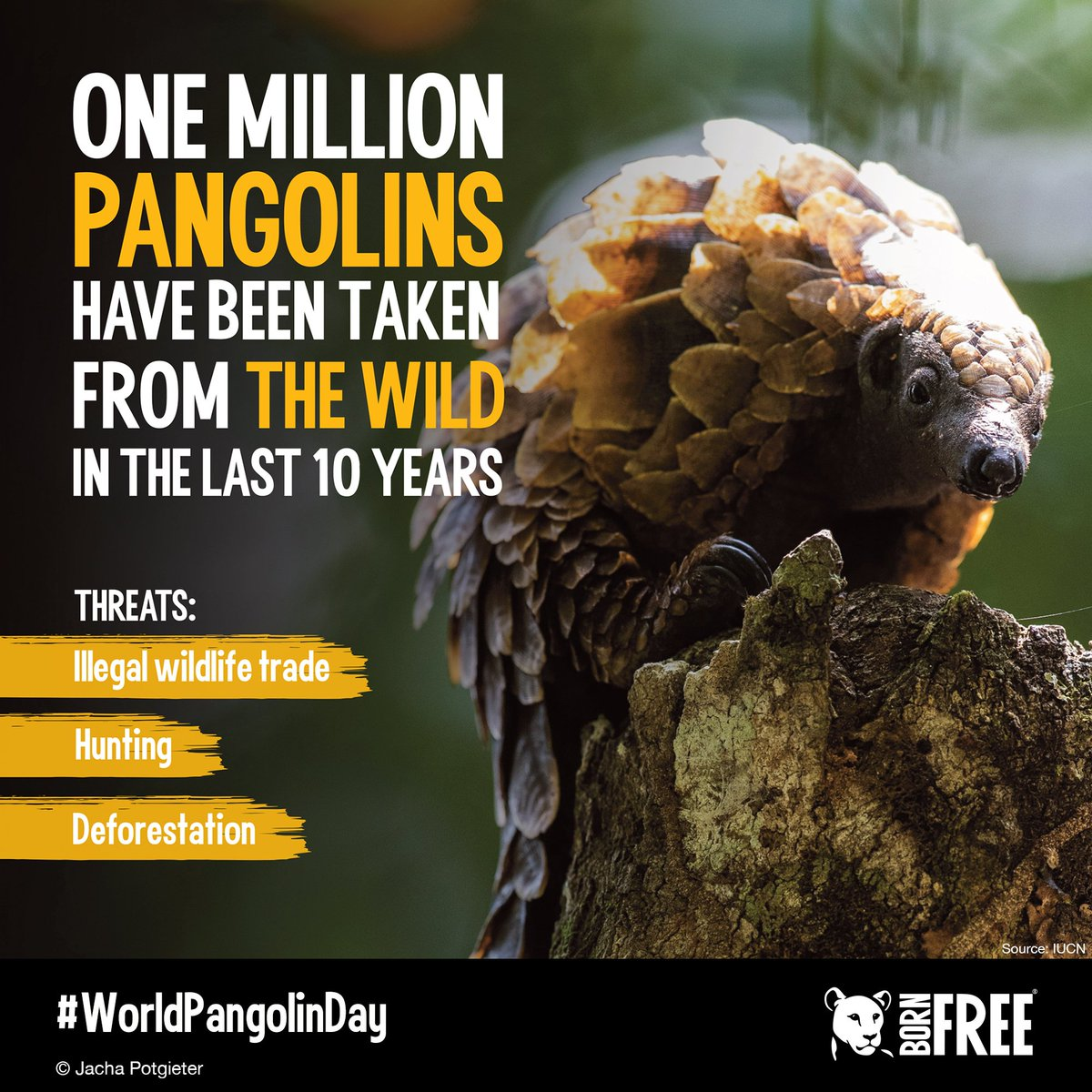 It's World Pangolin Day! One million pangolins have been taken from the wild in the last decade. With your support we can stop this cruel trade. Visit: https://www.bornfree.org.uk/animals/pangolins … #WorldPangolinDay #KeepWildlifeInTheWild #EndWildlifeCrime