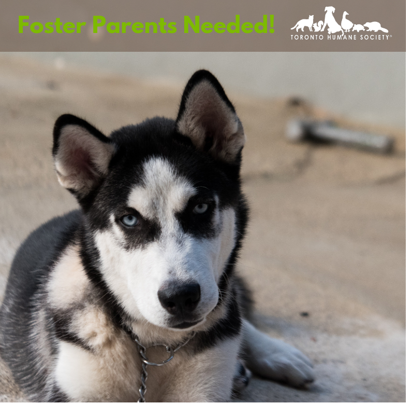 The Toronto Humane Society is in urgent need of canine foster parents to help with a large influx of dogs from rural areas of Ontario.    To express your interest in becoming a foster parent and helping a dog in need please email foster@torontohumanesociety.com
