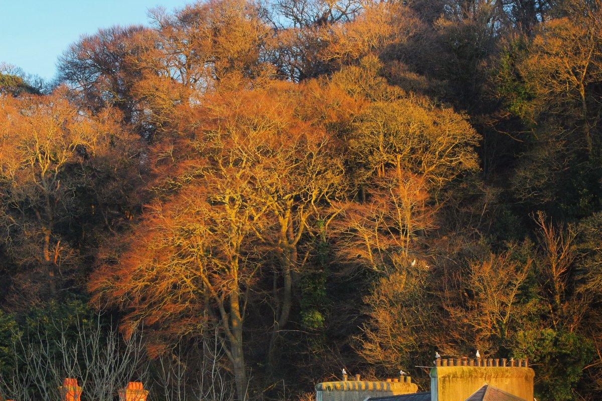 Amazing tree 😍 #tree #sunlight #sunset #bangor #wales #nature #landscape #scenery
