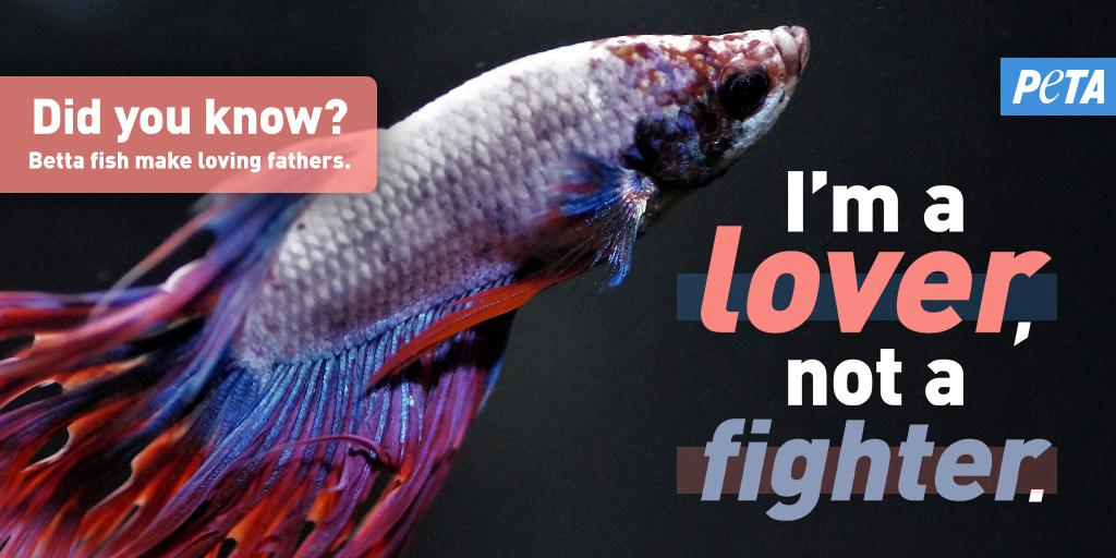 """Did you know male betta fish fiercely protect their babies? ❤️  And while males will fight other bettas, they can thrive with other species of fish. Yet many live & die alone because people mistakenly think they need to be kept in """"solitary confinement' 😡  https://t.co/Kn0iASsl4Z"""