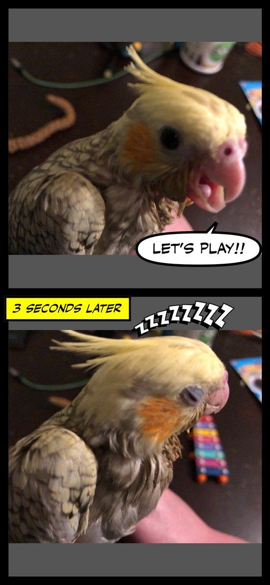 Playtime, sleepy time... #cockatiel #comic