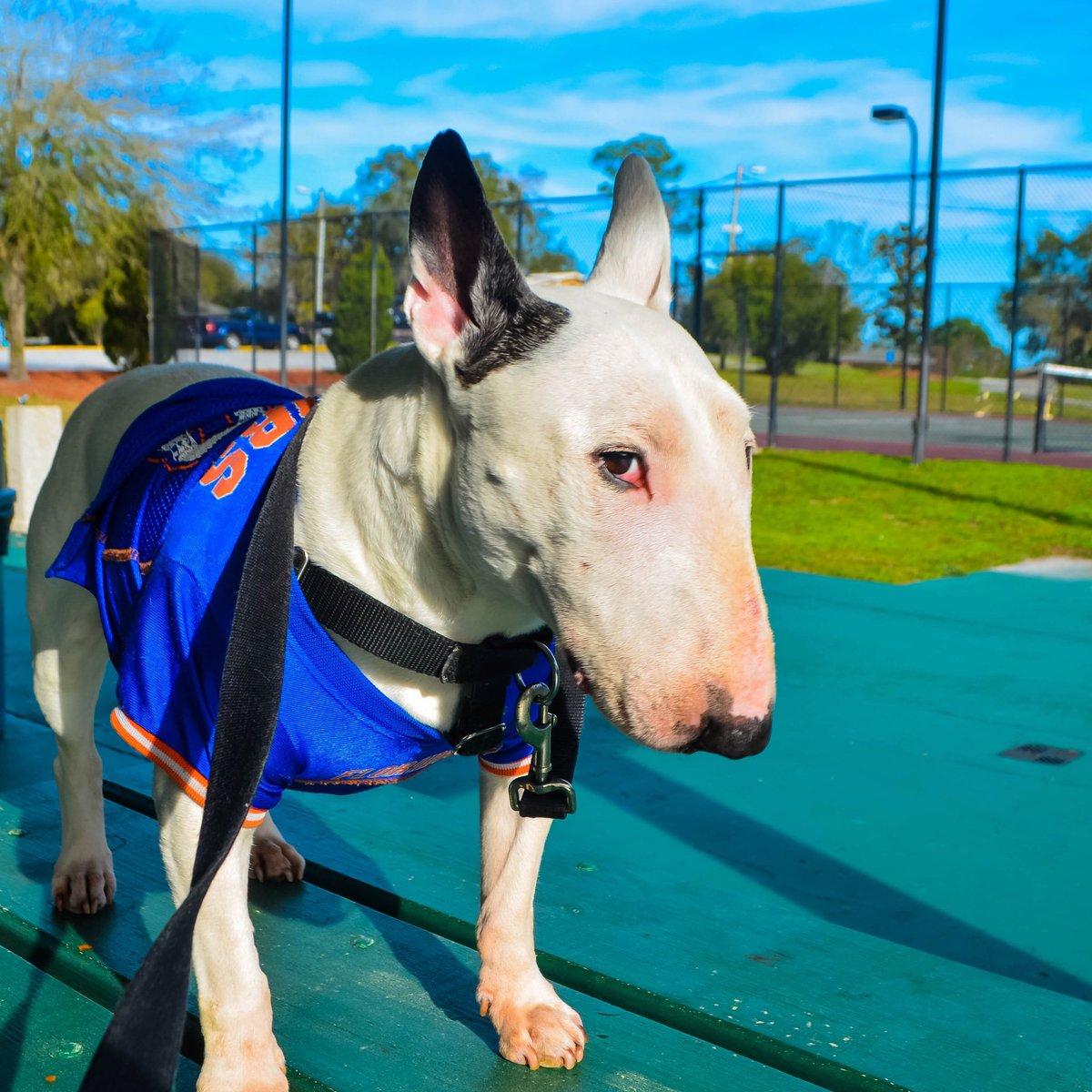 That's some serious side eye mate! . . . #bullterrier #bullterrierlove #dogsoftwitter  #ebt #bullies #doglover #dogoftheday #dogmodel #doglife #mansbestfriend #ilovemydog #ブルテリア#traveldog #dogtravel #bullterrierlovers #bullterriertravels #dogsoflondon<br>http://pic.twitter.com/hE9UluasCs