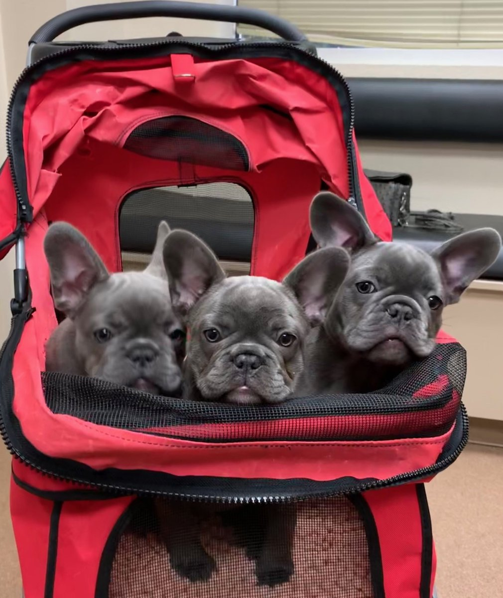 Just me and my brothers  @oakleybfrenchie #bluefrenchie #bluefrenchbulldog #bluefrenchbulldogs #frenchie #frenchiesofinstagram #frenchies #frenchiepuppy #frenchbulldog #frenchbulldogs #bulldog #puppy #puppies #puppiesofinstagram #dog #dogsofinstagram #dogs #animals #animal<br>http://pic.twitter.com/hRXCrcn827