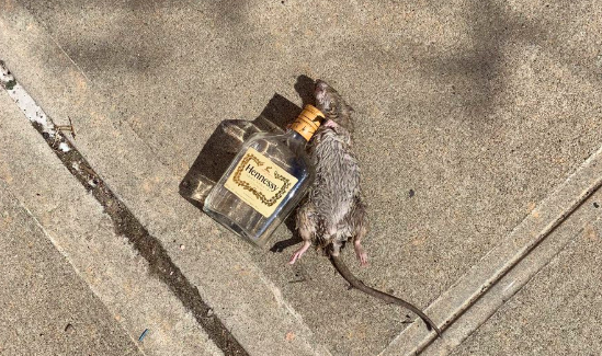 Rat passed out next to an empty bottle of Hennessy goes viral as 'just another day in New York City'  https://t.co/sykiepgFaF