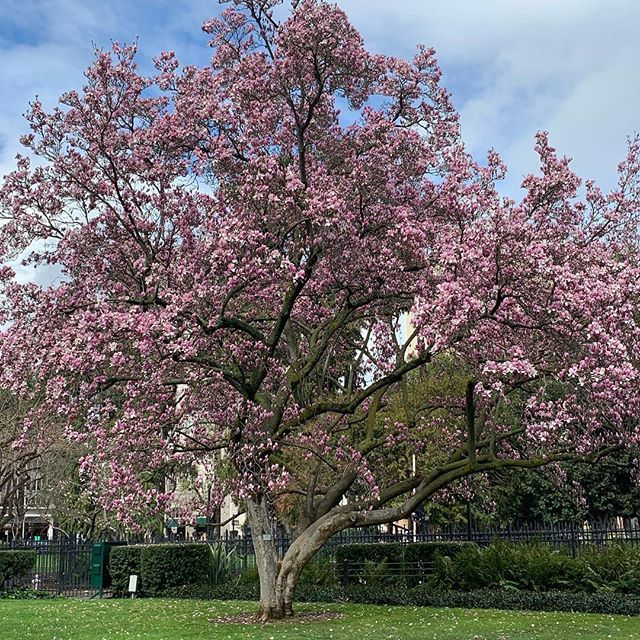 Don't need a filter when there's naturally this much beauty. #nofilter #cherryblossom #flowers #bloom http://bit.ly/2trcw0O