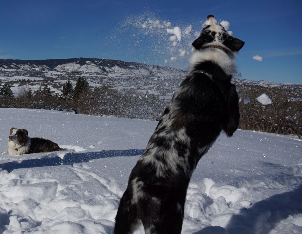 Happy Friday!! Winnie catches some air and some snow. #aussies #bordercollies #snow #fun #friday #weekend #thelightofdog #dogtraining #positivereinforcement #dogfriendly #peoplefriendly #coloradodogs #coloradodog #colorado #dogsofcolorado #coloradodogsofinstagram #dog #dogs
