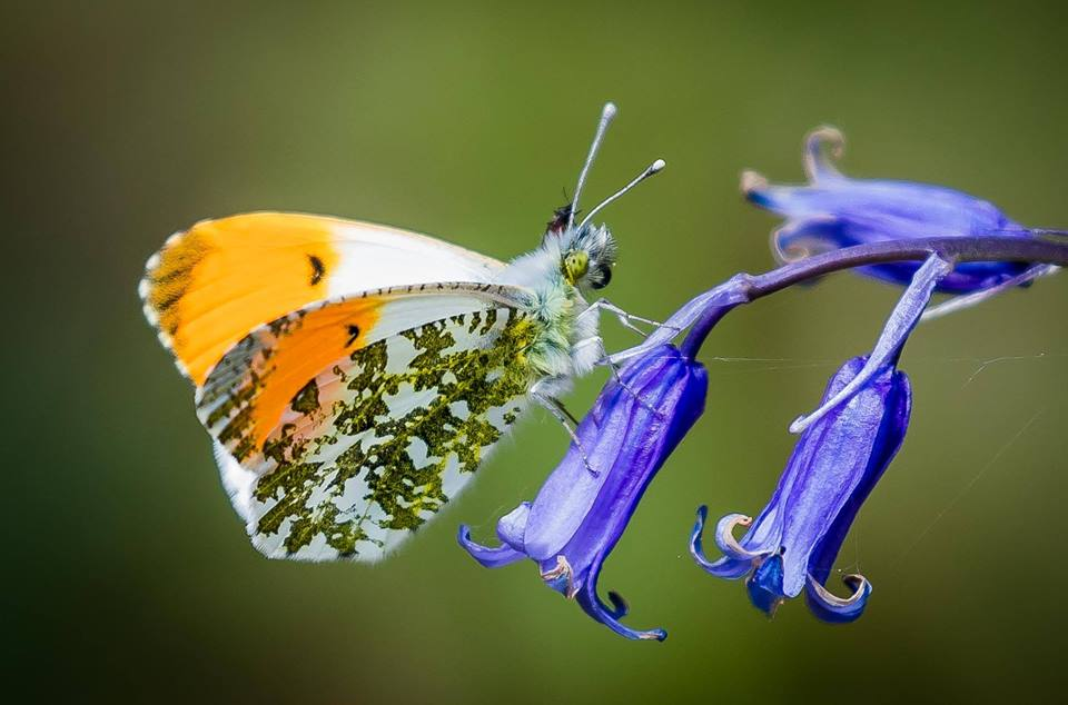 Meet the orange tip butterfly! To tell a male apart from a female, check the color at the tip of the wings: males have an orange tip, while females have a black tip. Both have striking dappled patterns on the underside of the wing to help keep them camouflaged in vegetation.🦋