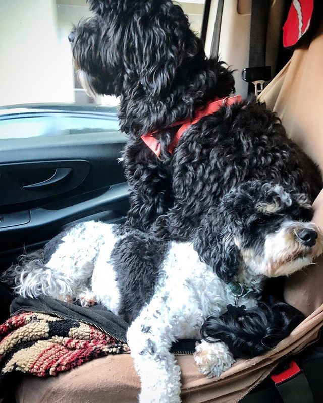 Aww.  These copilots . . #matchymatchy #blackandwhite #curlyhair #sfdogs #dogtravel #dogismycopilot #daisydog #portuguesewaterdog #stretch #frontseat #dogtired  http:// bit.ly/2TQNtQ7  &nbsp;  <br>http://pic.twitter.com/JbNA2HAshC